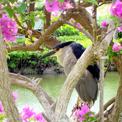 Night Heron at the adjacent Lagoon